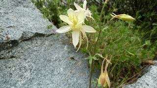 Columbine, Little Lakes Valley, John Muir Wilderness, Inyo National Forest