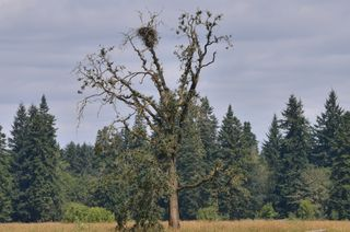 Bald Eagle's Nest, Tualatin National Wildlife Refuge