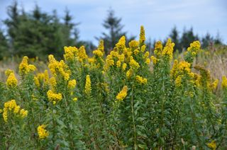 Canada Goldenrod, Cascade Head, OR