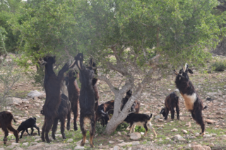 Goat and an Argan tree