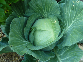 Beautiful Cabbage in Diana's Garden