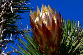 Joshua Tree bloom, Indian Wells Canyon