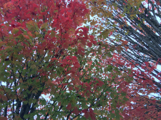 Fall color in McMinnville, OR