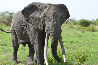 This elephant has the gene for long tusks!
