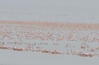 Just a few of the many,many flamingos at Lake Manyara