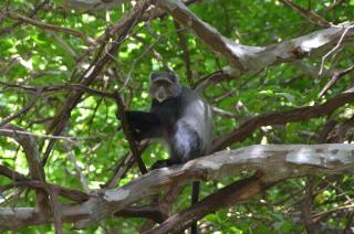 Bllue monkey
