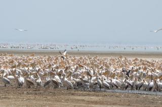 Pelicans and storks, Lake Manyara
