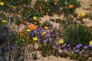 Desert wildflowers at Short Canyon