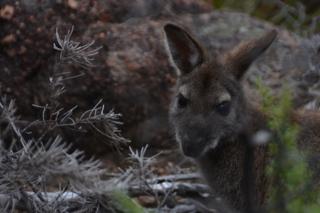 Wallaby, Freycinet National Park, Tasmania
