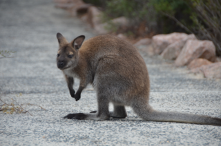 Wallabies At Freycinet National Park Writing From Home