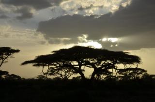 Acacias as the sun sinks